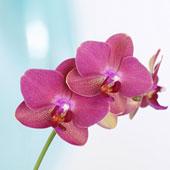 In Lesa der erste Ausstellungsmarkt der Orchideen