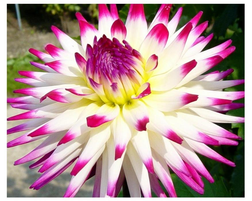 Il nome dahlia fiore che in queste settimane sta - Dalia pianta ...